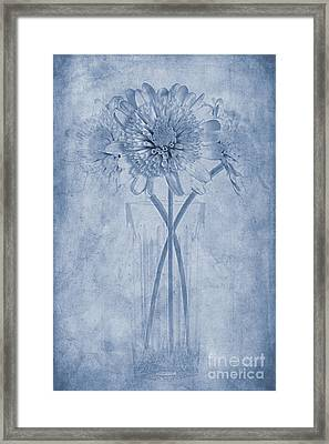 Chrysanthemum Cyanotype Framed Print by John Edwards