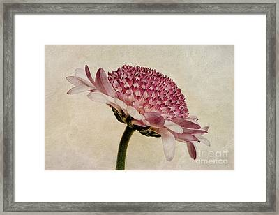 Chrysanthemum Domino Pink Framed Print by John Edwards