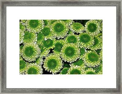 Chrysanthemum Green Button Pompon Kermit Framed Print by Kaye Menner