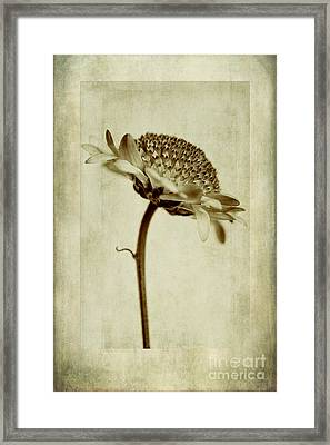 Chrysanthemum In Sepia Framed Print by John Edwards