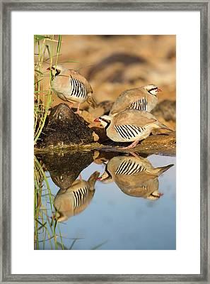Chukar Partridge Alectoris Chukar Framed Print by Photostock-israel