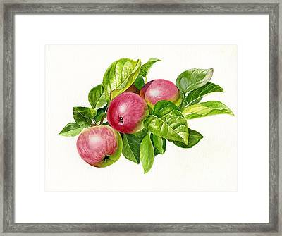 Cider Apples With White Background Framed Print by Sharon Freeman
