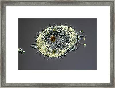 Ciliate Protozoan Framed Print by Frank Fox