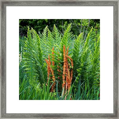 Cinnamon Fern Framed Print by Bill Wakeley