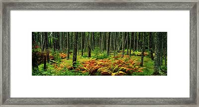 Cinnamon Ferns And Red Spruce Trees Framed Print by Panoramic Images