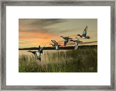 Cinnamon Teal Ducks At Dusk Framed Print by Schwartz