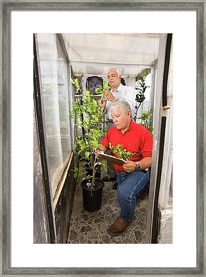 Citrus Crop Growth Research Framed Print by Peggy Greb/us Department Of Agriculture
