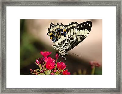 Citrus Swallowtail  Framed Print by Saija  Lehtonen
