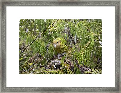 Ckakapo Male In Forest Codfish Island Framed Print by Tui De Roy
