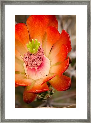 Claret Cup Framed Print by Thomas Pettengill
