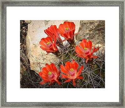 Claret Cups Framed Print by Thomas Pettengill