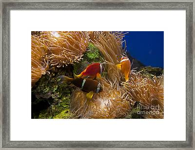 Clark's Anemonefish And A Tomato Clownfish   #5196 Framed Print by J L Woody Wooden