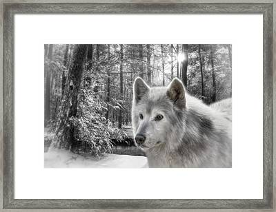Clarks Wolf Framed Print by Lori Deiter