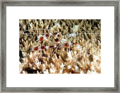 Cleaner Shrimp On A Reef Framed Print by Louise Murray