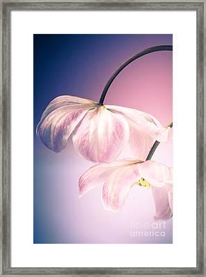 Clematis Flowers 3 Framed Print by Jan Bickerton