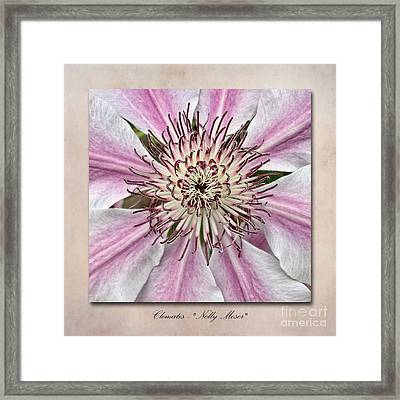 Clematis Nelly Moser Framed Print by John Edwards