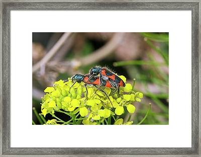 Clerid Beetles Mating On A Flower Framed Print by Bob Gibbons