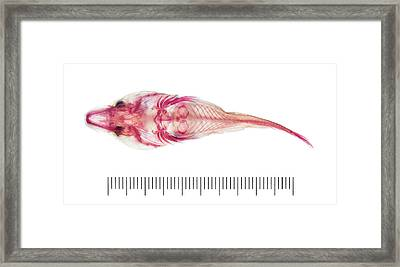 Clingfish Framed Print by Natural History Museum, London
