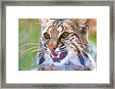 Close-up Of A Bobcat Lynx Rufus Framed Print by Panoramic Images