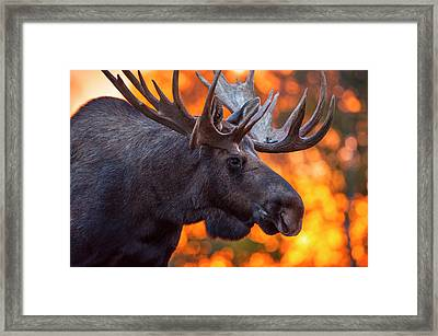 Close Up Of A Bull Moose In Rut In Late Framed Print by Michael Jones
