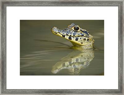Close-up Of A Caiman In Lake, Pantanal Framed Print by Panoramic Images