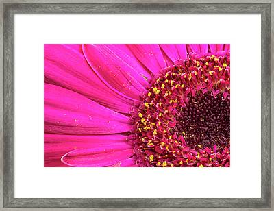 Close-up Of A Gerber Daisy Showing Framed Print by Rona Schwarz