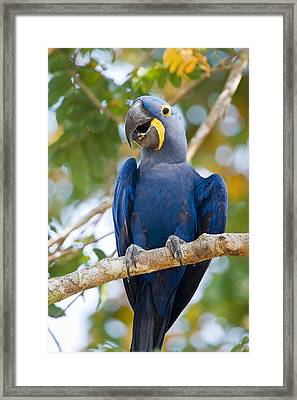 Close-up Of A Hyacinth Macaw Framed Print by Panoramic Images