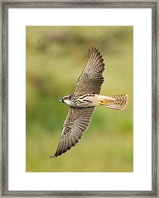 Close-up Of A Lanner Falcon Flying Framed Print by Panoramic Images