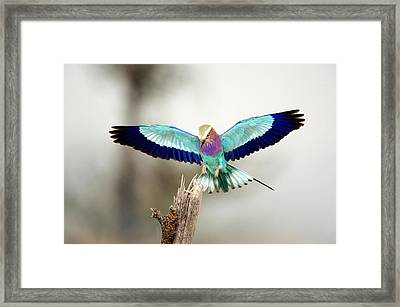 Close-up Of A Lilac-breasted Roller Framed Print by Panoramic Images