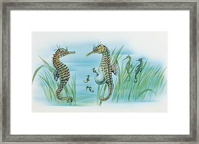 Close-up Of A Male Sea Horse Expelling Young Sea Horses Framed Print by English School