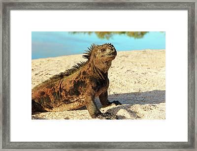 Close-up Of A Marine Iguana, Galapagos Framed Print by Miva Stock