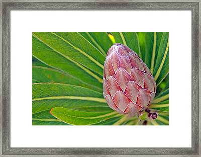 Close Up Of A Protea In Bud Framed Print by Anonymous