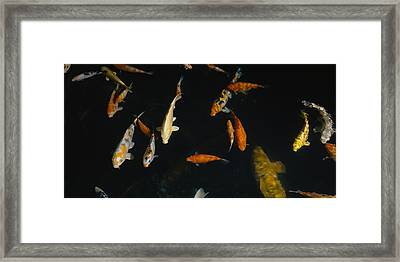 Close-up Of A School Of Fish In An Framed Print by Panoramic Images