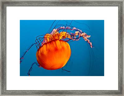 Close Up Of A Sea Nettle Jellyfis Framed Print by Eti Reid