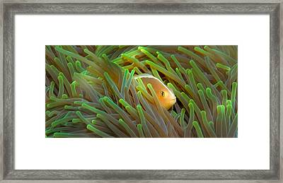Close-up Of A Skunk Anemone Fish Framed Print by Panoramic Images