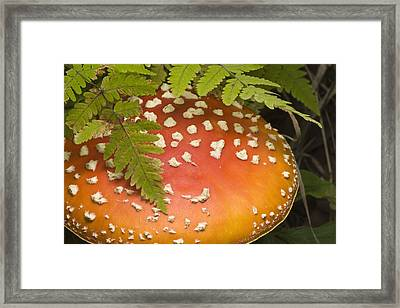 Close Up Of An Amanita Muscaria Mushroom Framed Print by Hal Gage