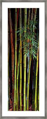Close-up Of Bamboos, Kanapaha Botanical Framed Print by Panoramic Images