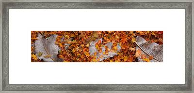 Close-up Of Fallen Maple Leaves Framed Print by Panoramic Images