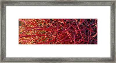 Close-up Of Fishhook Cactus, Baja Framed Print by Panoramic Images