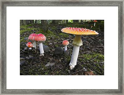 Close Up Of Fly Agaric Mushrooms In The Framed Print by Ron Sanford