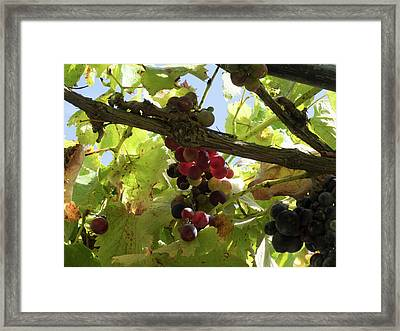Close-up Of Grapes On Vine, Black Barn Framed Print by Panoramic Images