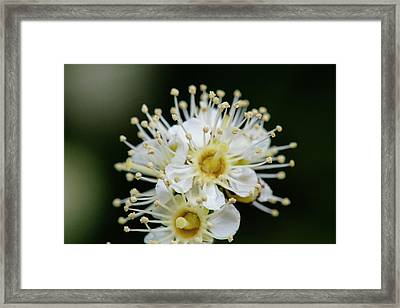 Close Up Of Maple Leaf Viburnum (also Framed Print by Matt Freedman
