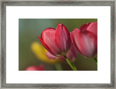 Close-up Of Red And Yellow Tulips Framed Print by Rona Schwarz