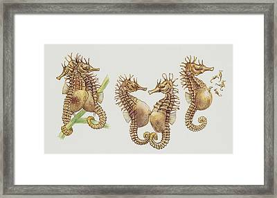 Close-up Of Sea Horses Framed Print by English School