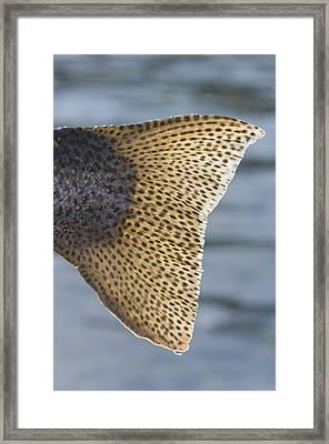 Close Up Of The Tail Of A Rainbow Trout Framed Print by Greg Martin