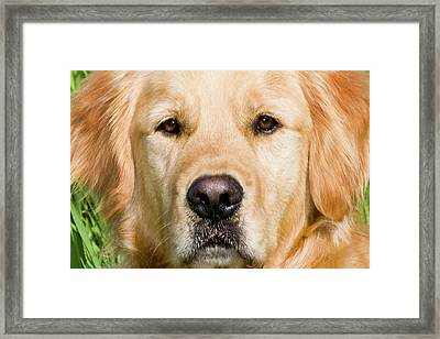 Close View Of Head Golden Retriever Framed Print by Piperanne Worcester