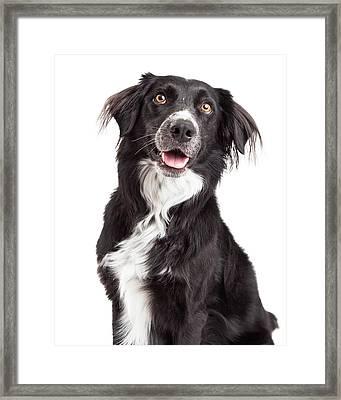 Closeup Of Border Collie Mix Breed Dog Framed Print by Susan  Schmitz