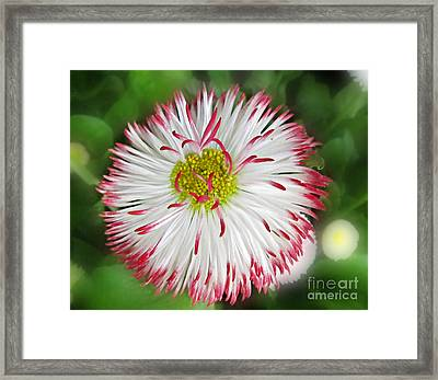 Closeup Of White And Pink Habenera English Daisy Flower Framed Print by Valerie Garner