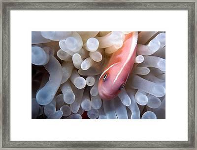 Clownfish 12 Framed Print by Dawn Eshelman