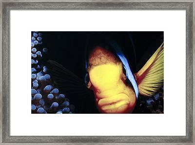 Clownfish 8 Framed Print by Dawn Eshelman